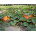 Roots, Shoots, Fruits & Flowers: Orange Garden, Wasp Galls, Pumpkin Problem & Compost Caution