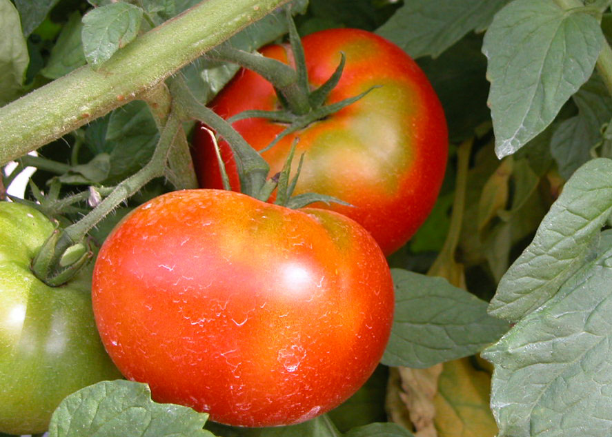 Top Performers in Tomato Variety Trials