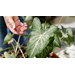 Get It Growing: How to harvest caladium bulbs