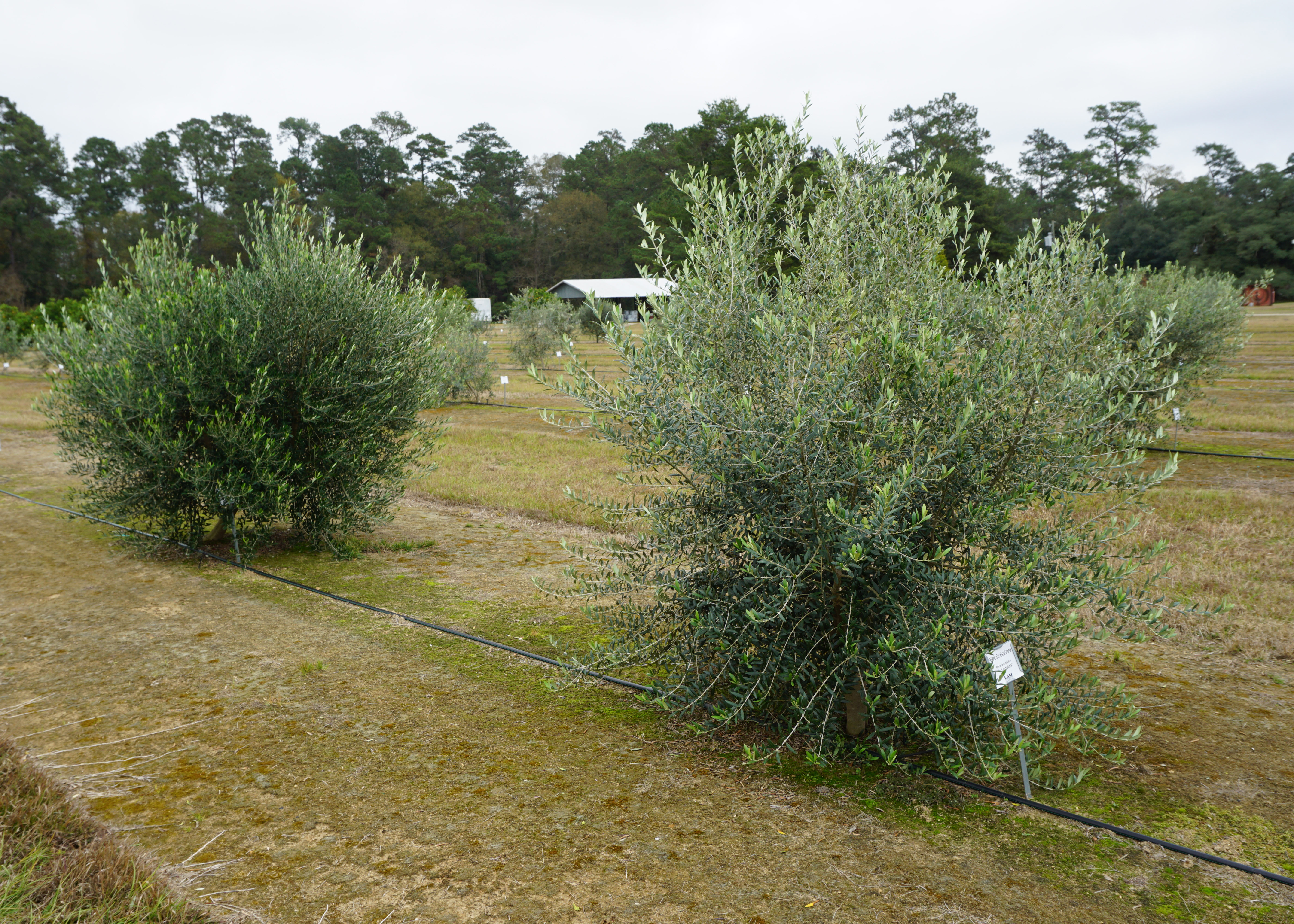 Growing Olives in Louisiana: An Initial Evaluation