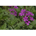Super Plant Homestead Purple verbena is best planted in fall
