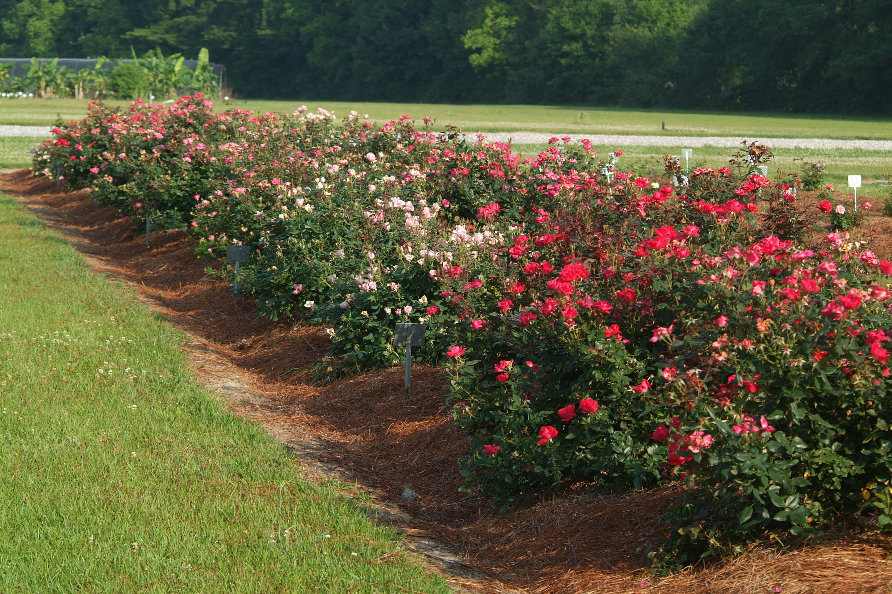 Knock Out Roses - Blackspot Disease Ratings 2008 and 2009