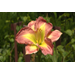 Day lilies are low-care summer favorites