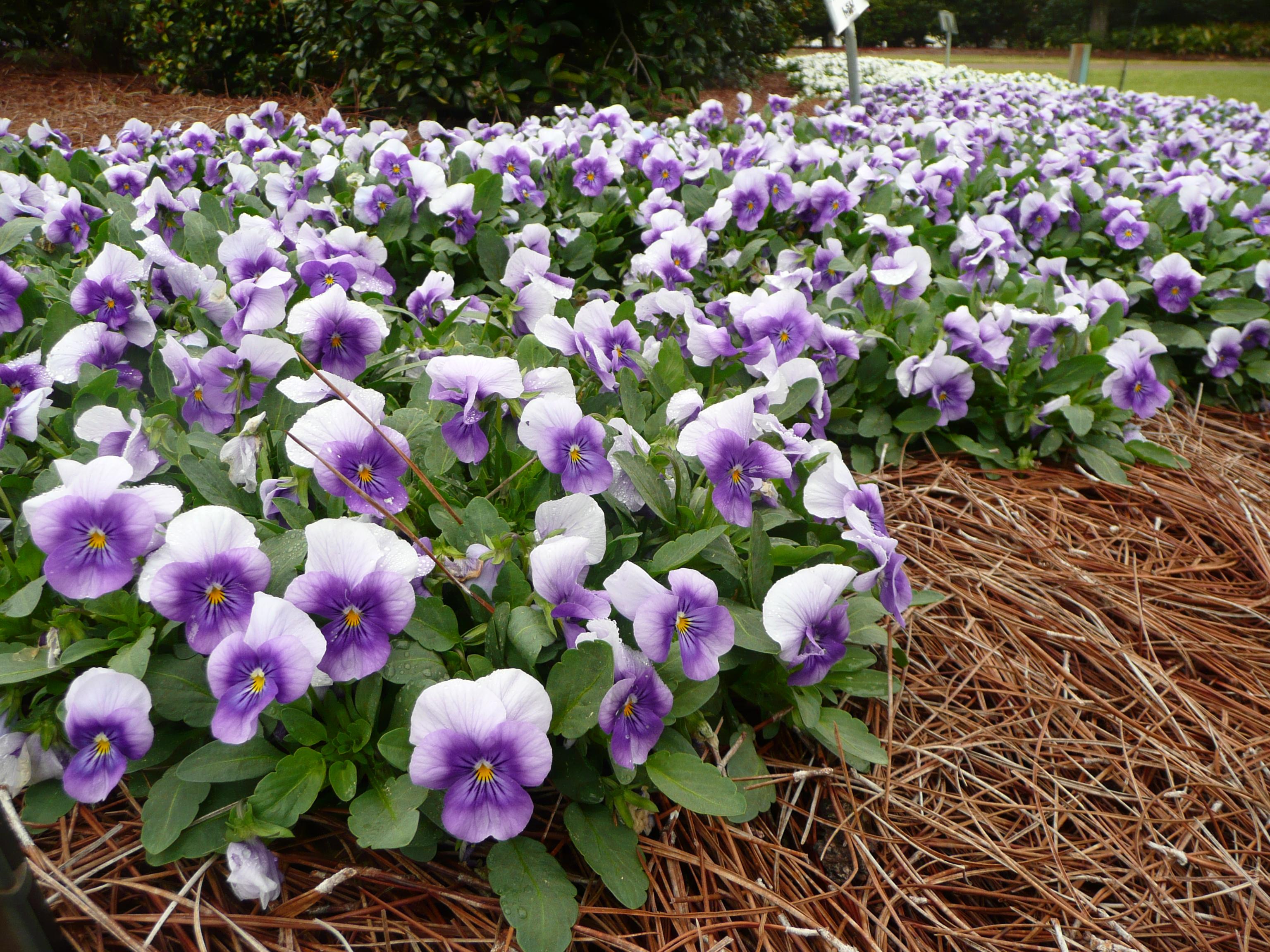 Sorbet Viola Ornamental Plant Of The Week For October 26 2015