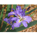 Louisiana Irises