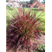 Fireworks Pennisetum – Ornamental Plant of the Week for April 27, 2015