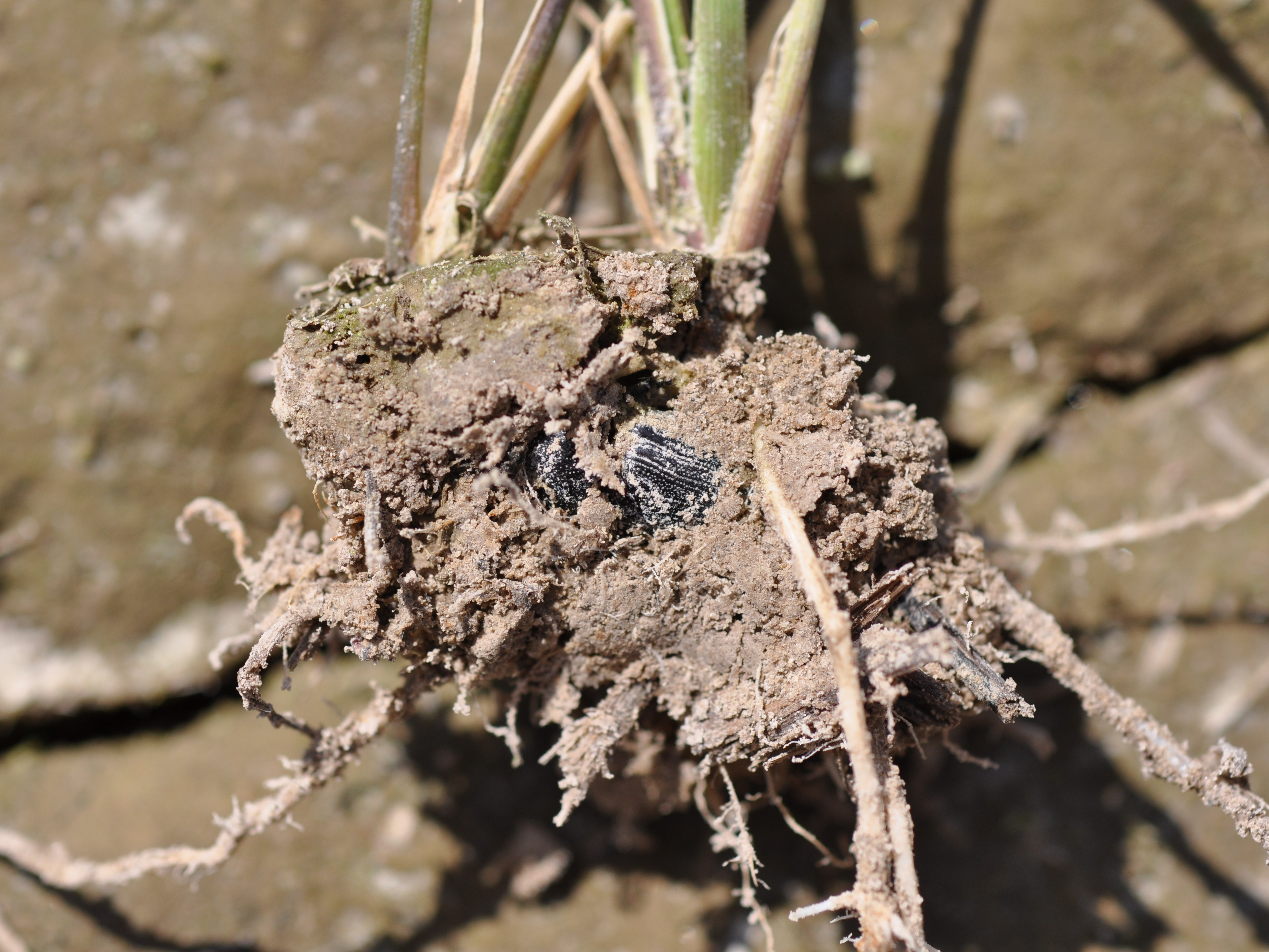 The sugarcane beetles (adults) are injuring the rice by chewing in the crown of the plant.