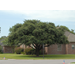 Shade trees provide benefits in home landscapes