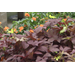 New ornamental sweet potatoes offer more variety