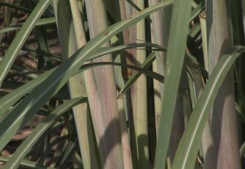 Sugarcane stalks are shorter this season