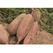 Farmers get average crop during sweet potato harvest