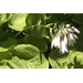 Guacamole hosta offers tropical look, dependability