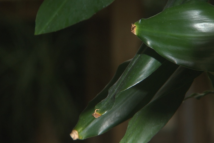 Brown leaf tips signal underlying causes