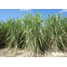 2020 sugarcane crop off to good start