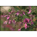 Easy-care bush clover has nice fall flowers