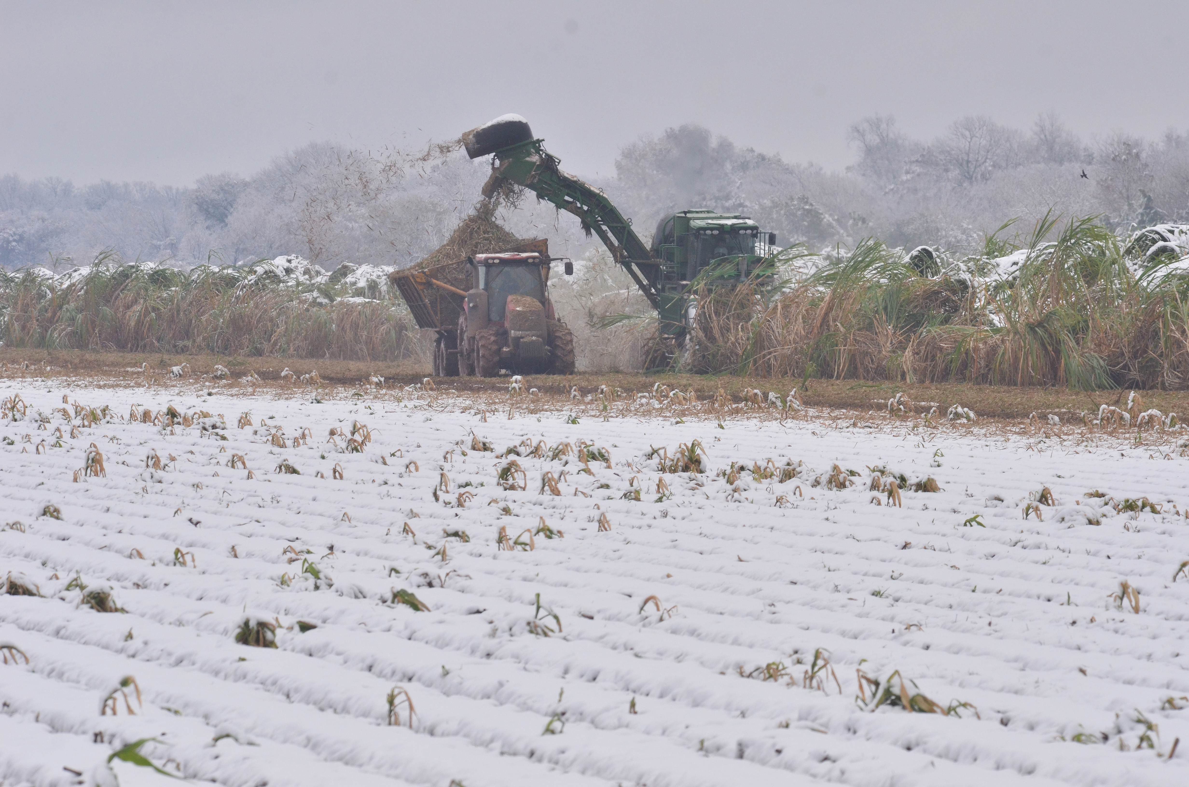 Louisiana sugarcane crop poised to break record