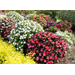 SunPatiens offer proven Louisiana performance