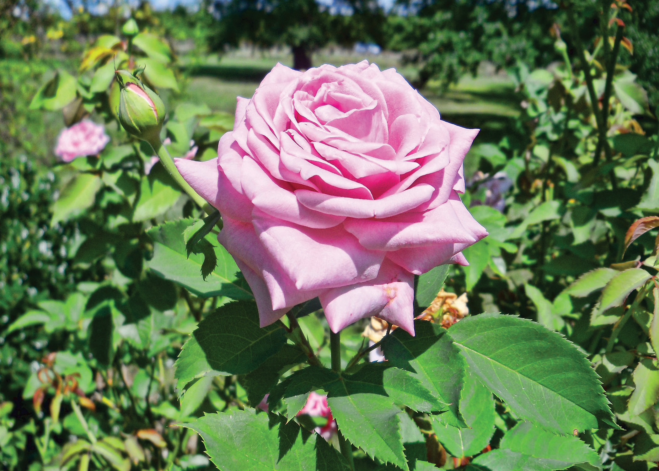 Researching Roses in the Bayou State