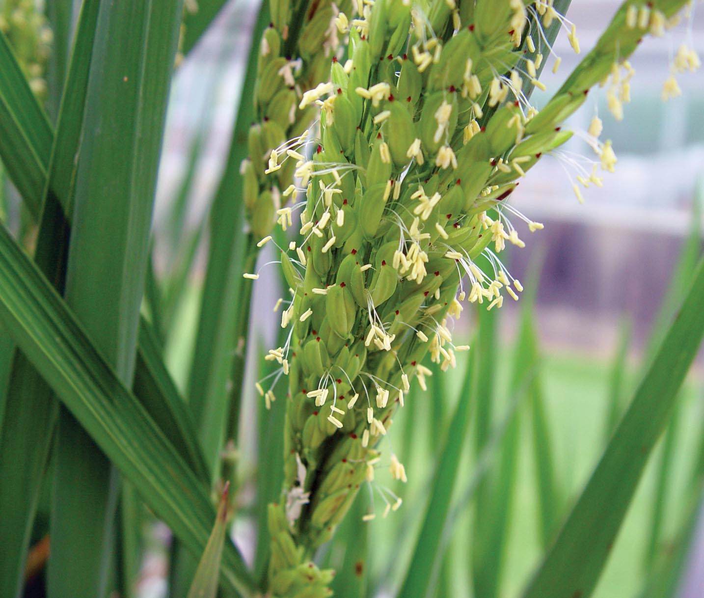 Rice Hybrids: Yield and Stability Comparisons
