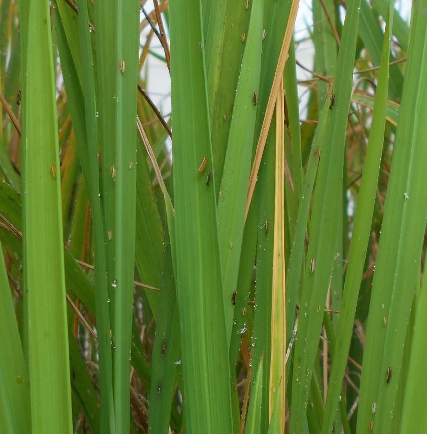 Rice Delphacid