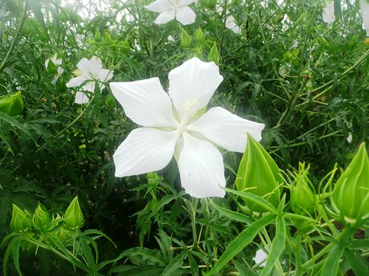 Louisiana Offers Abundant Hibiscus Options