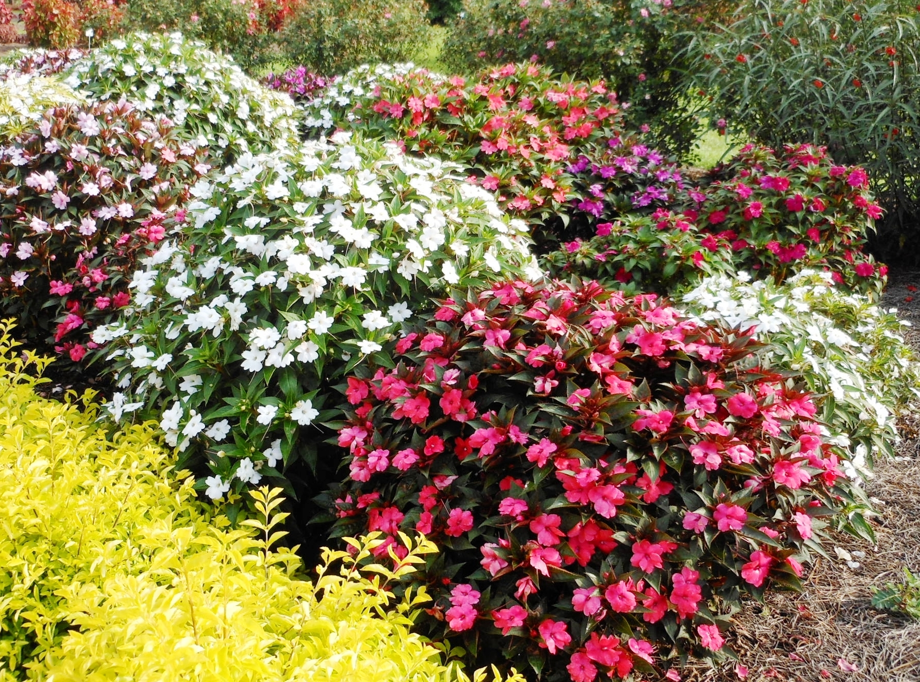 SunPatiens produce great flowers for Louisiana summers