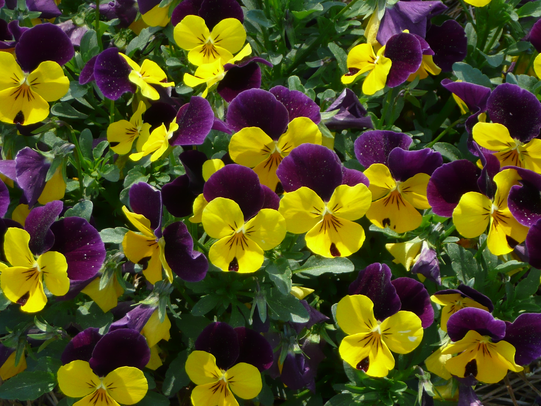 Sorbet Violas – Louisiana Super Plant Fall 2012