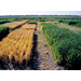Wheat Cover Crops: Benefits and Management