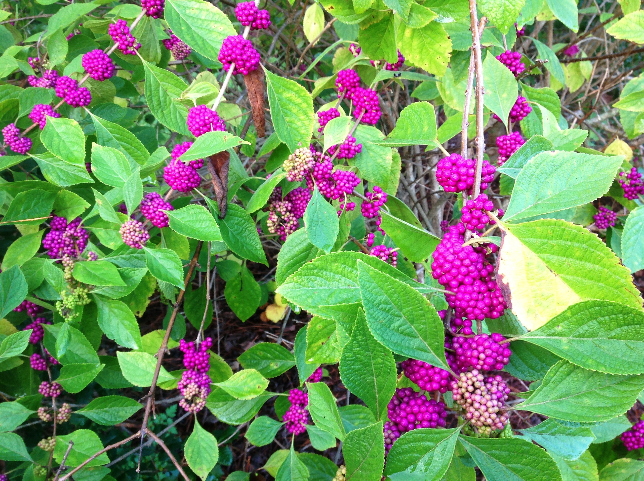 Native beautyberry enhances fall landscapes