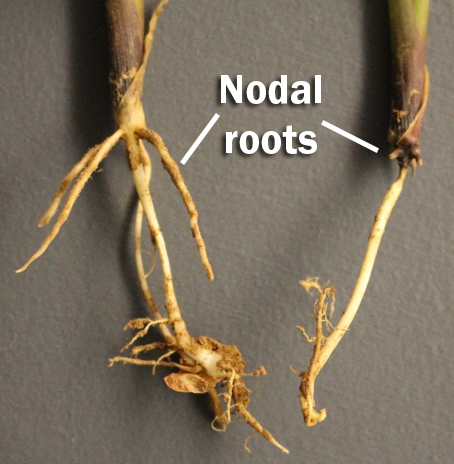nodal rootspng
