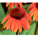 Coneflowers Punctuate Summer With Second Bloom