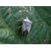 Stink Bugs and Leaffooted Bugs