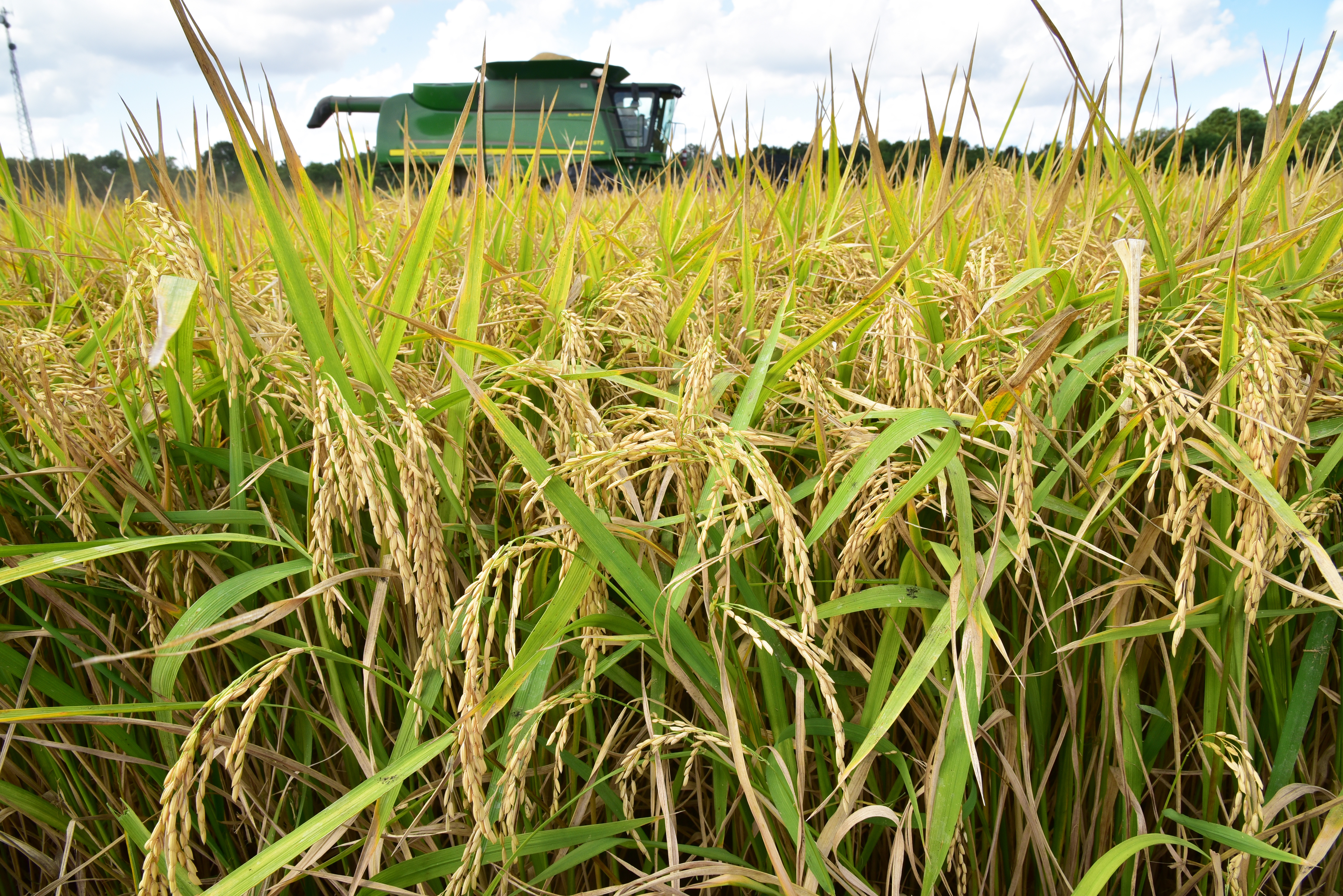 rice and combine on Fruge farm.jpg thumbnail