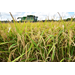Weather deals blow to Louisiana rice harvest