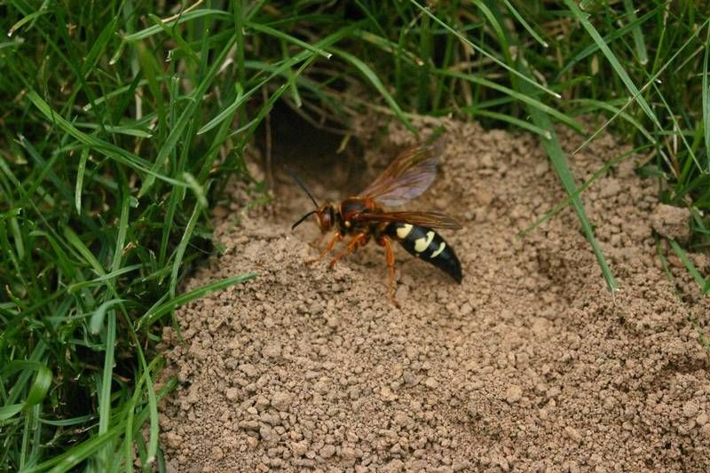 eastern cicada killer wasp4.jpg thumbnail