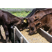 Cow Nutrition Affects Calf Health And Herd Productivity For Years