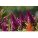 Compact Intenz Classic celosia is latest Super Plant