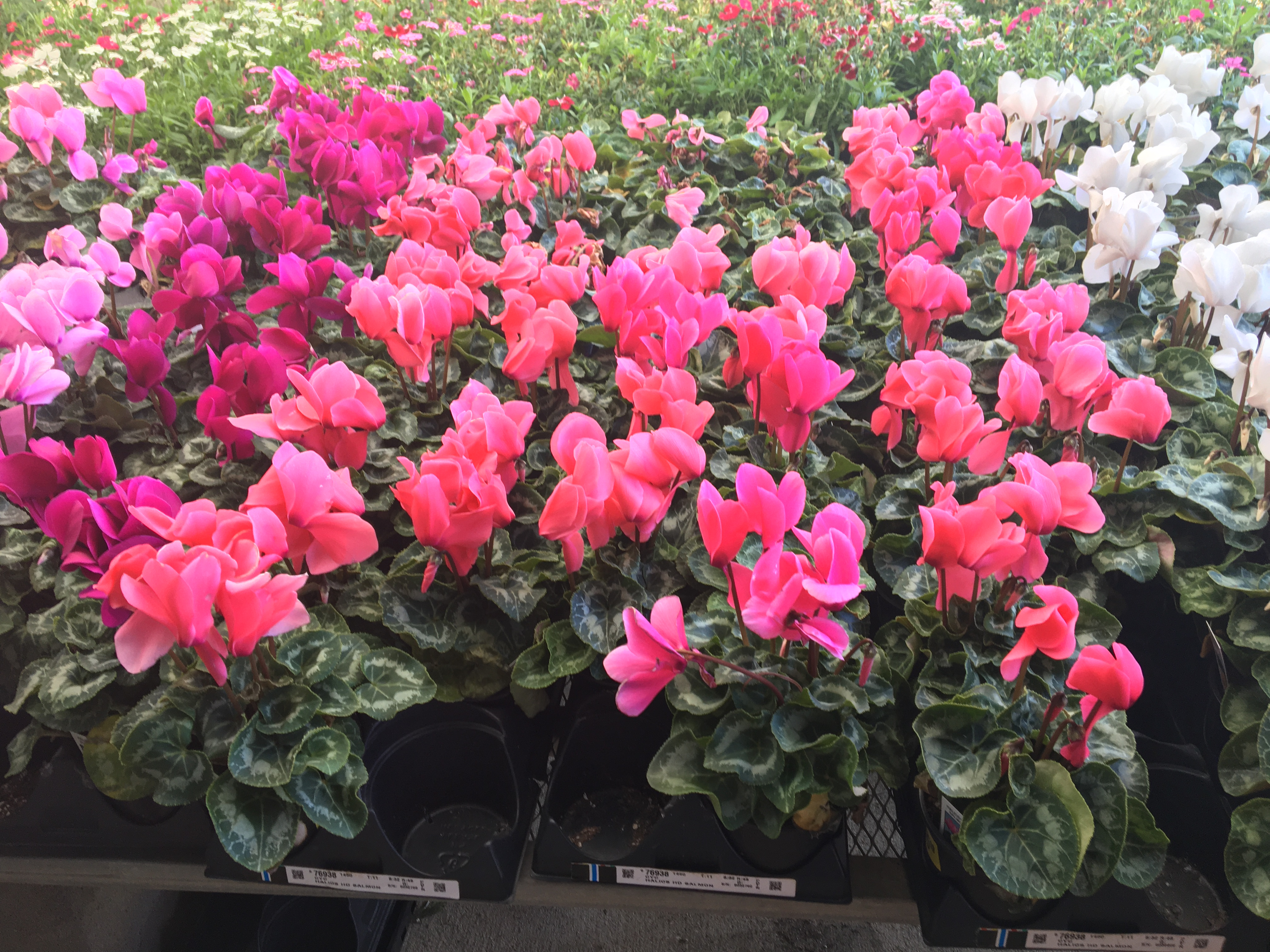 Cyclamen come in all the right colors.JPG thumbnail