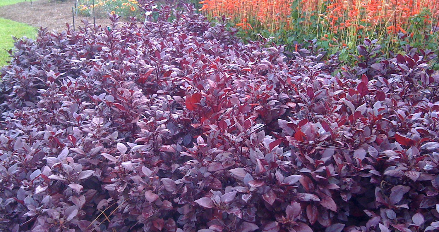 Garden Bush: Warm-Season Bedding Plant