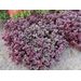 Little Ruby Alternanthera - Warm-Season Bedding Plant