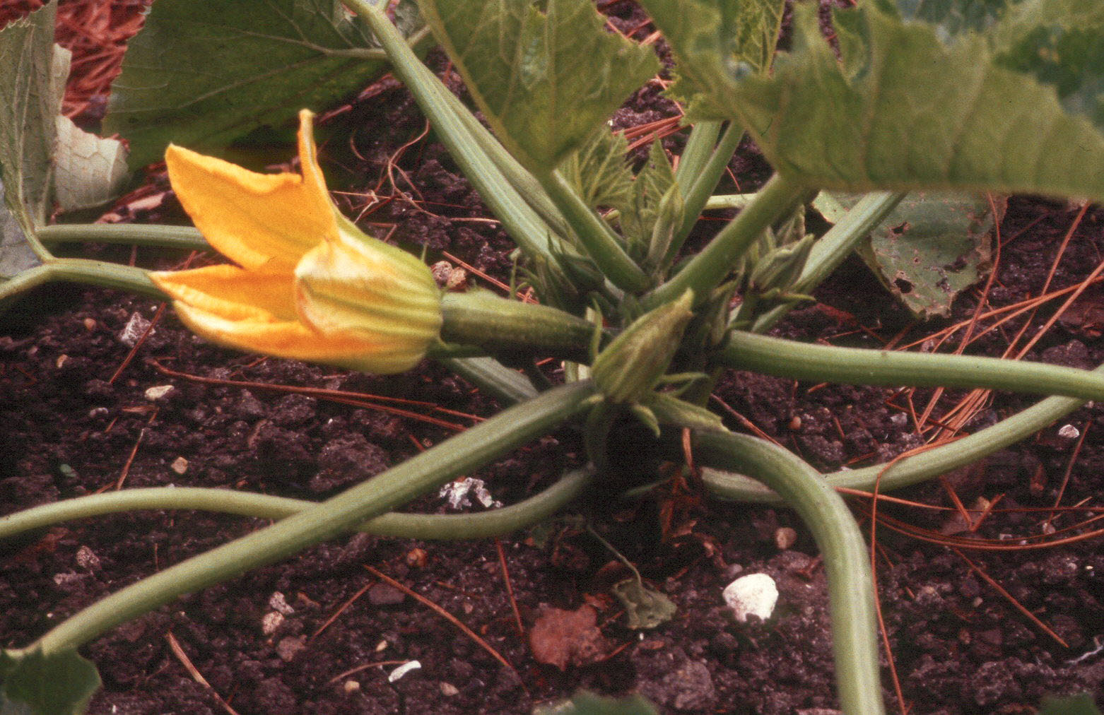 zucchini female flower.jpg thumbnail