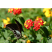 Follow these hints for successful butterfly gardening