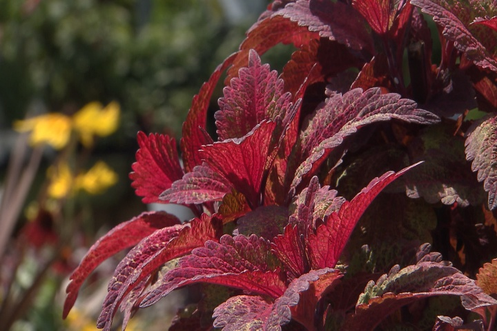 Add coleus to your summer garden