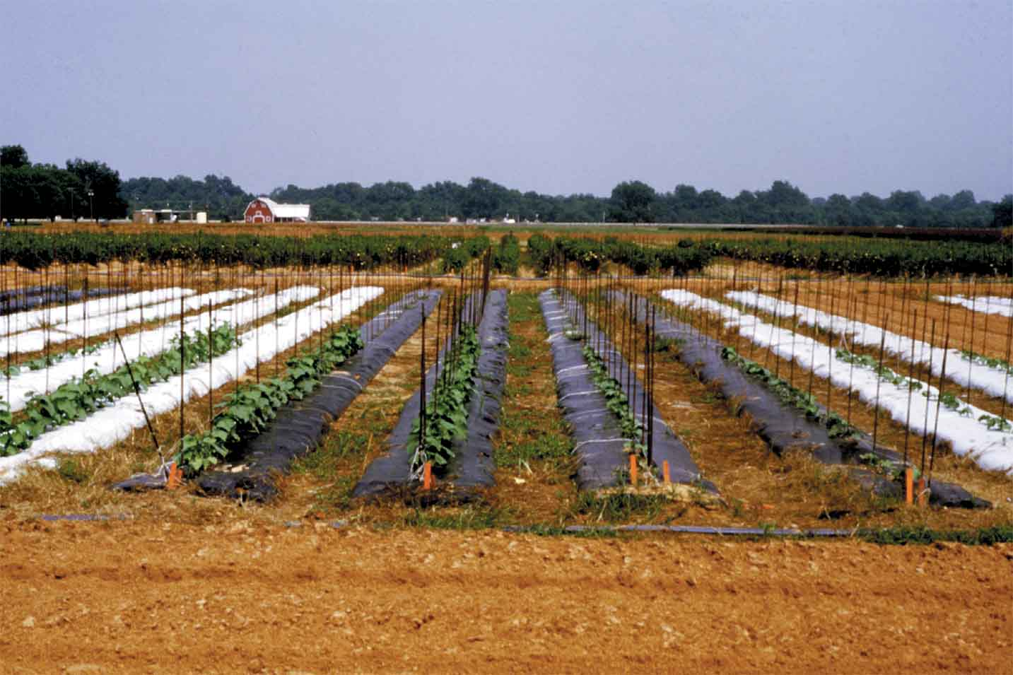Reusing Black Polyethylene Mulch Saves Money in Vegetable Business