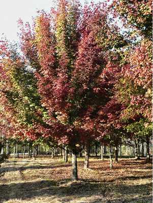 Southern sugar maple