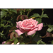 Super Plant Belindas Dream rose easy to grow