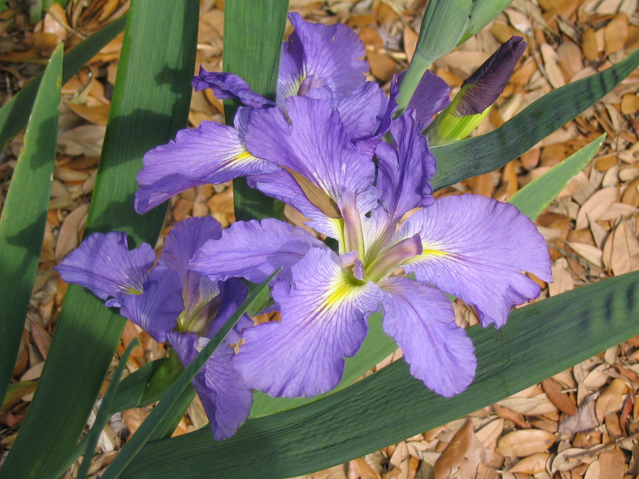 Its time to divide Louisiana irises