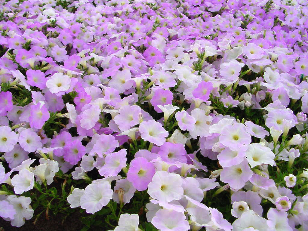Plant Wave petunias in fall