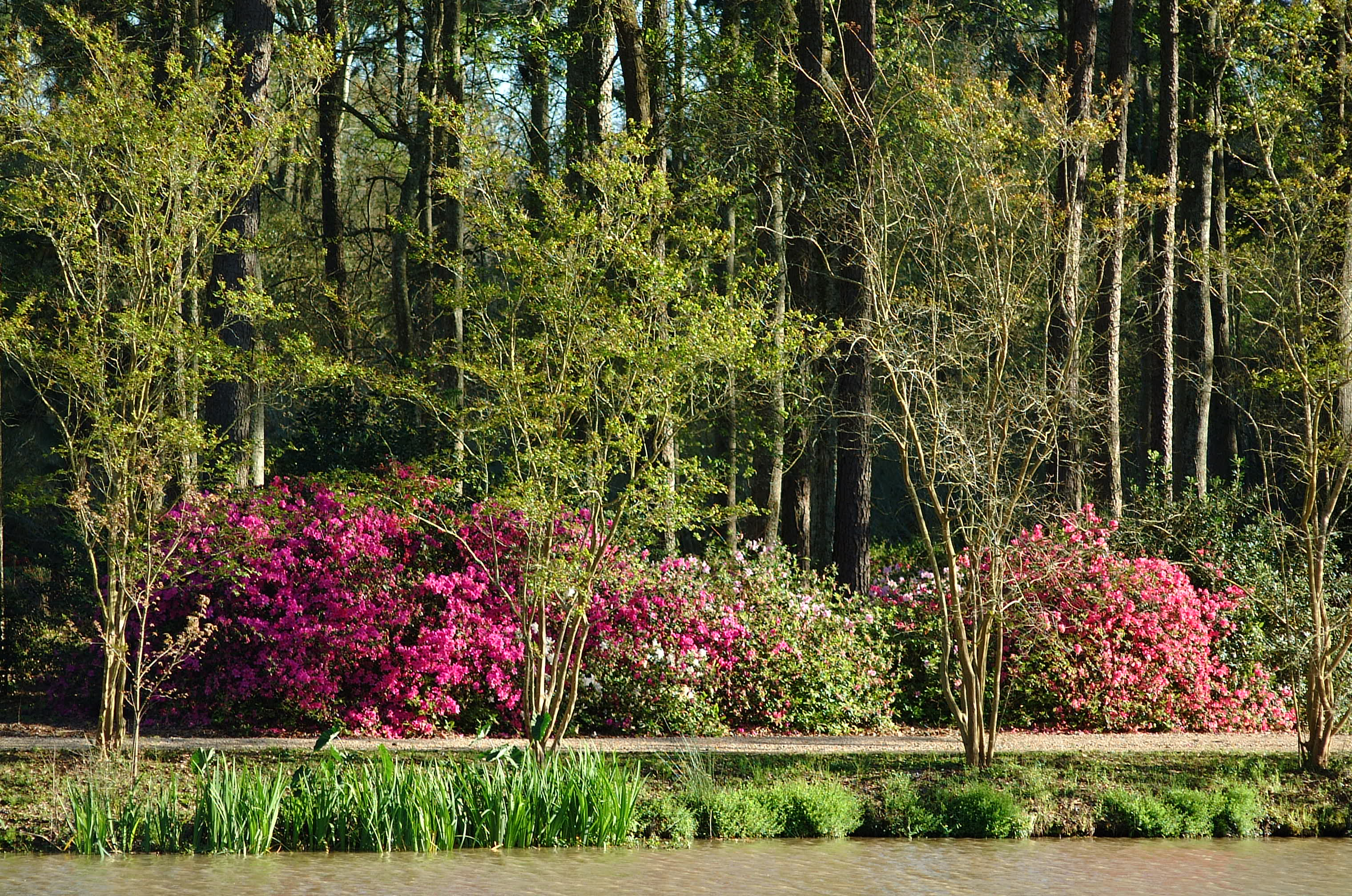 'Azalea Stroll' set for March 9 at Windrush Gardens in Baton Rouge