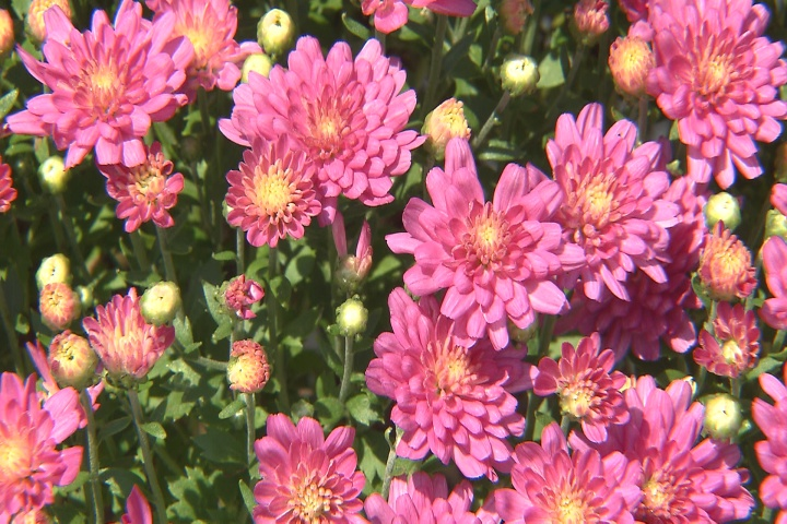 Garden mums are a symbol of fall